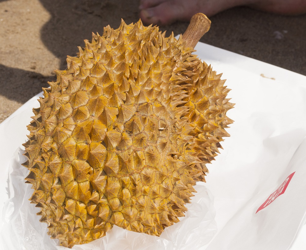 paper made from durian husks Curious about custardy and enchanting durian fruits malaysia the durian fruit is made of two parts its outer covering is known as durian husk and its inner portion is referred to as durian flesh whereas the durian husk is inedible, the durian flesh is totally edible.